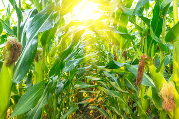 Growing organic corn