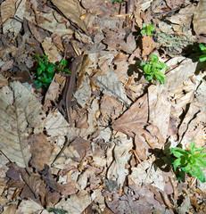 Lizard in the dry leaves