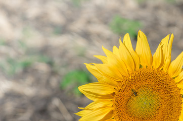 Sunflower on field background