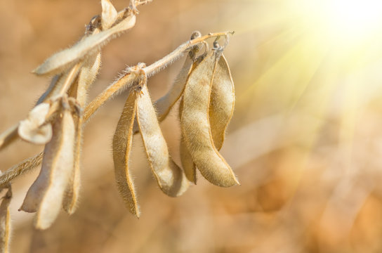 Ripe soybeans on the field