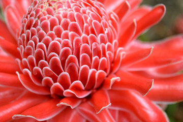 Close up red Torch Ginger flower Blossom