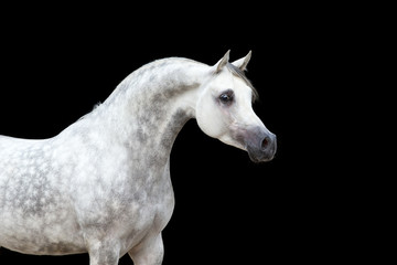 White horse isolated on black background