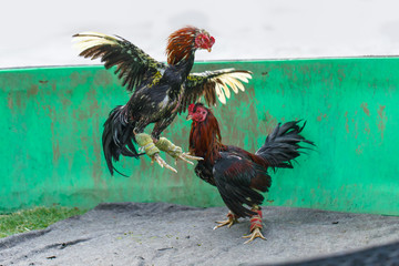 Gamecocks fight