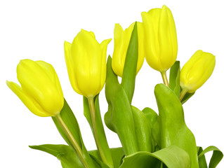 five tulips yellow color