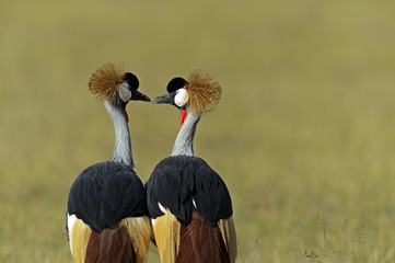 Wall Mural - Crowned Crane in the savannah