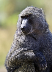Fototapete - Baboons