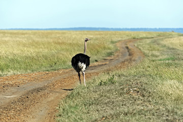 Ostrich in the African savannah