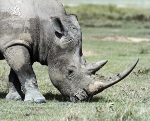 Wall Mural - White Rhino in Kenya