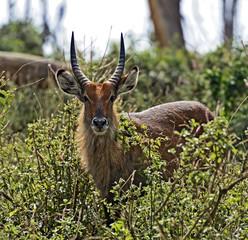 Fototapete - Waterbuck in the African savannah