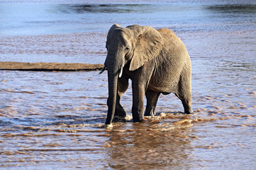 Fototapete - Elephant in the savannah
