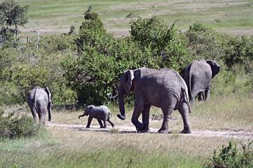 Fototapete - African elephants