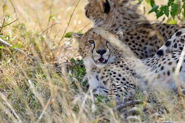 Fototapete - Masai Mara Cheetahs
