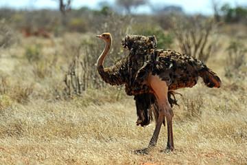 Ostrich in the Masai Mara
