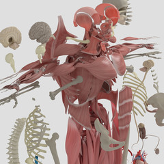 Human anatomy exploded view, deconstructed showing separate parts, muscles, organs, bones. Creative color palettes and designer detail.