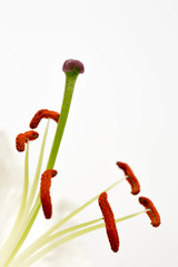 Close up image of stamens and stigma on lily flower
