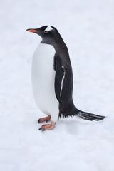Gentoo Penguin, Antarctica.