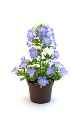 Glockenblume, Campanula, Blumentopf, Flowerpot