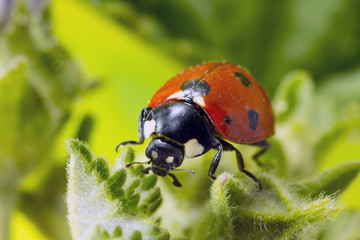 Macro photo of a 7-spot ladybird.