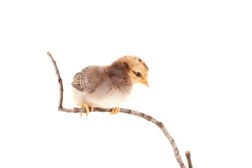 Baby chicken sitting on twig over the white