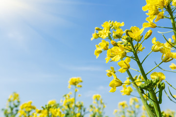 Yellow rape flower bloom in farmland