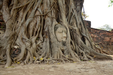 Stone head of buddha in root tree of Wat Mahathat