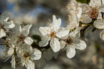 Diagonal Cherry blossoms