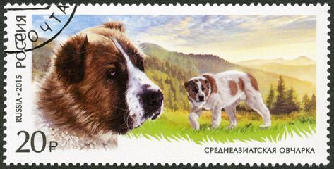 RUSSIA - 2015: shows Central Asian Shepherd Dog, series fauna