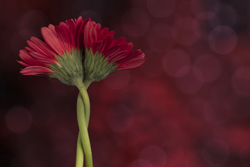two entwined gerbera daisy flowers on abstract red background