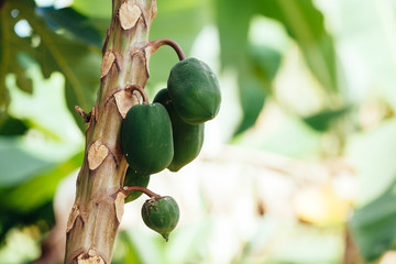 Close up of Papaya Tree