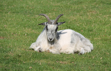 A Majestic White Goat Animal Resting in the Sunshine.