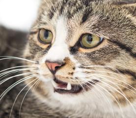portrait of an evil cat. macro