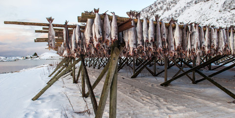 Producing stockfish from cod, Lofoten islands