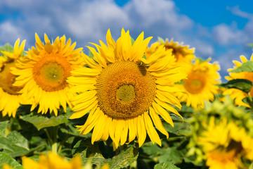 Blühende Sonnenblumen im Sommer