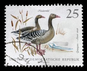 Stamp printed in GDR shows image of a Graylag Geese, series, circa 1968