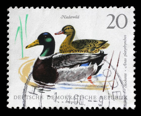 Stamp printed in GDR shows Mallards, Wild Duck, Anas Platyrhynchos, Bird, circa 1968