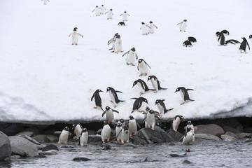 Gentoo Penguins going to the sea, Antarctica.