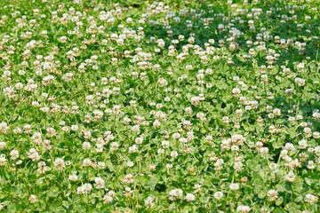 White clover/Dutch clover (Trifolium repens) field with flowers.
