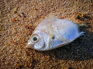 Dead fish on the beach. Water pollution concept, Selective focus and close up (dead, fish, pollution)