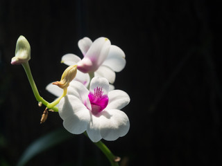 Orchid White Pink