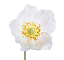 White anemone flower isolated on white