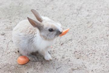 the amusing rabbit eats carrots