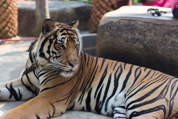Tiger in public zoo