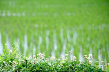 初夏の水田 クローバーの花