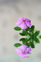 Pink flower with reflection