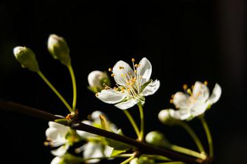 White Flowers backlit diagonal