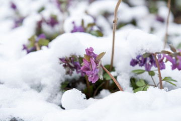 Spring violet hollowroot (corydalis) flower covered with snow