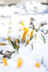 Spring yellow crocuses flower covered with snow