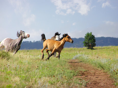 Two Spanish Mustangs mares chasing a new arrival in their area