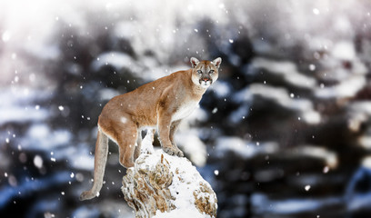 Portrait of a cougar, mountain lion, puma, panther, striking a p