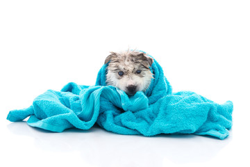 Siberian husky puppy after bath is covered with a blue towel